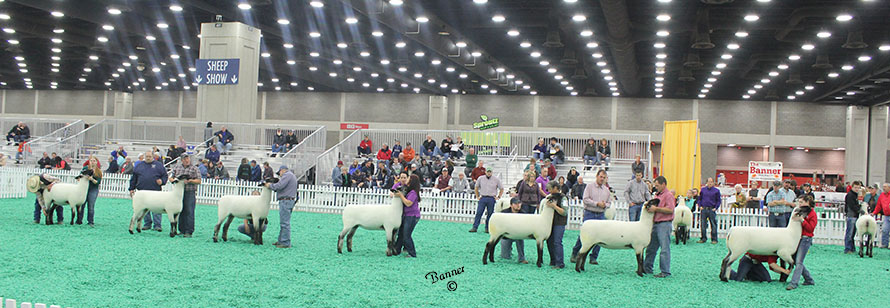 Hampshire Yearling Ewe Class at NAILE 2016